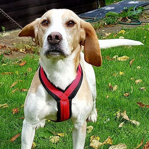dog-harness-12