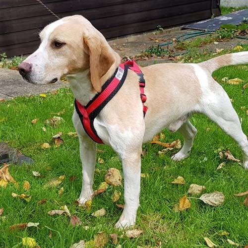 dog-harness-13
