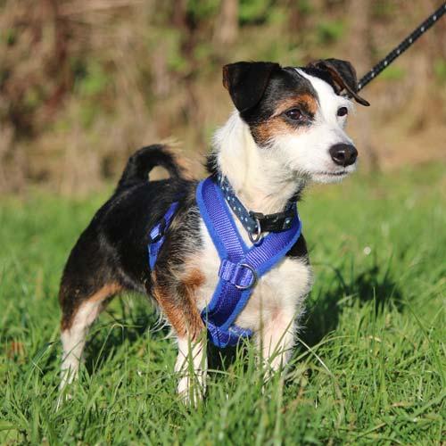 dog-harness-3